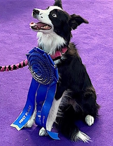 """Pink"" Border Collie wins Westminster agility Contest"